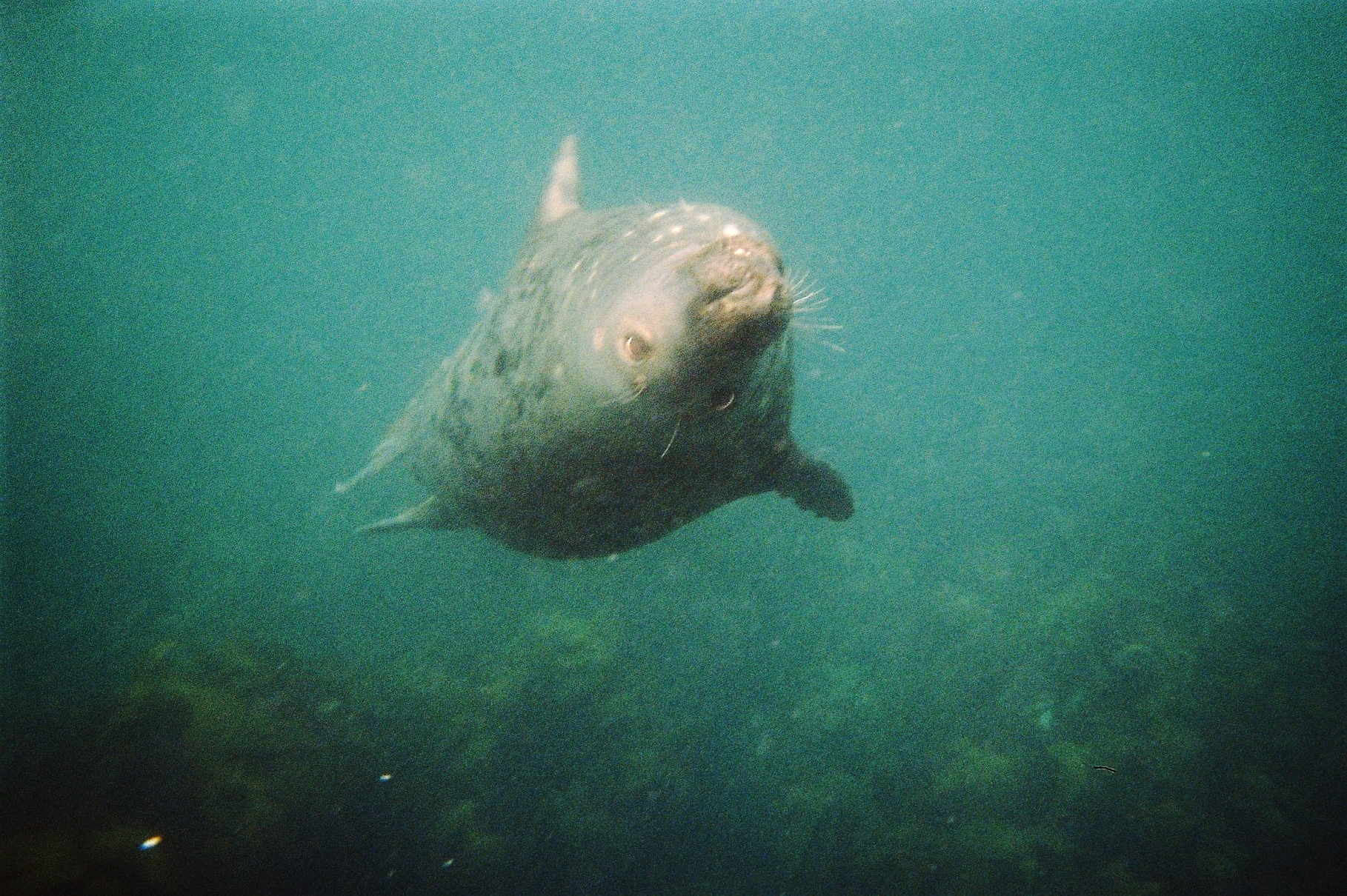 Seal snorkelling Scilly